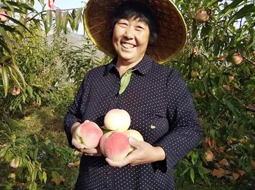 """太河镇下端士村:""""喝着""""山泉水长大的66亩水蜜桃喜丰收"""
